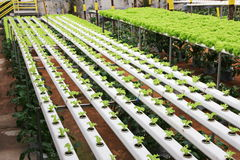 Vegetables farm. Vegetables hydroponics, organic farm Royalty Free Stock Image