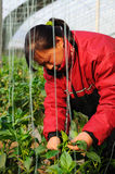 Vegetables farmers Stock Photography