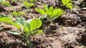 Vegetables fields in spring time , kale vegetable field. stock video footage