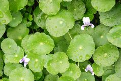 Vegetables fresh green background and drops of water on the leaves after rain royalty free stock photography