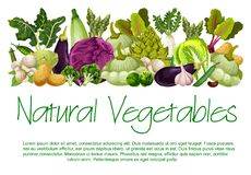 Vector natural vegetables organic food poster. Vegetables and fresh organic veggies harvest of natural vegan farm food. Vector vegetarian cauliflower or broccoli Royalty Free Stock Image