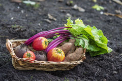 Vegetables from the garden. Basket of home grown vegetables Stock Images