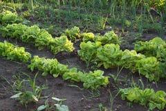 Vegetables in the garden Stock Image
