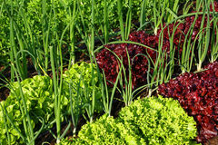Vegetables in a garden Royalty Free Stock Image