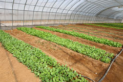 Vegetables in greenhouse Stock Photography