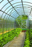Vegetables in greenhouse Royalty Free Stock Image