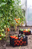 Vegetables in the greenhouse Royalty Free Stock Photography