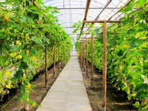 vegetables in greenhouses Stock Photo