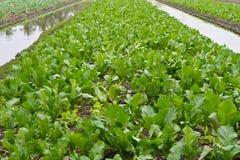 Vegetables growing on the farmland Stock Photos
