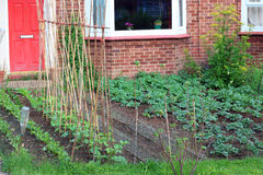 Vegetables growing in a front yard or garden. Stock Photography