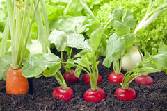 Vegetables growing in the garden Stock Images