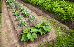 Vegetables growing at the garden Stock Photos
