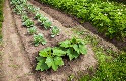Vegetables growing at the garden Stock Photos