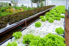 Vegetables growing with Hydroponic Gardening System. royalty free stock images