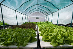 Vegetables growing on hydroponics Royalty Free Stock Image