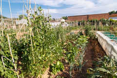 Vegetables growing in an orchard Royalty Free Stock Images