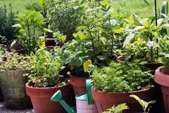 Vegetables growing in pots Stock Photos