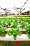 Vegetables grown using hydroponics Royalty Free Stock Photo