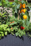 Vegetables and herbs growing in pots. Mini fruit and vegetable garden. Peppers, tomatoes, herbs Royalty Free Stock Photo
