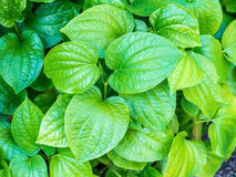 Vegetables and herbs, medicinal substance in it leaves. Plu (Houttuynia cordata Thunb),Vegetables and herbs, medicinal substance in it leaves royalty free stock photo