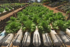 Vegetables hydroponics farm Stock Photo