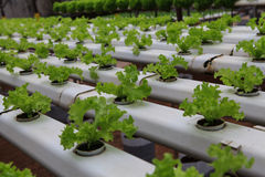 Vegetables hydroponics farm. Cameron Malaysia Royalty Free Stock Photos