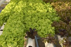 Vegetables hydroponics , Fresh organic vegetable in hydroponic vegetable field royalty free stock images