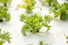Vegetables hydroponics. Hydroponics method of growing plants. Using mineral nutrient solutions, in water, without soil. Close up Hydroponics plant Royalty Free Stock Images