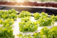 Vegetables hydroponics. Hydroponics method of growing plants Stock Photo