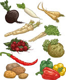 Vegetables II. Second set of 10 vector illustration of vegetables (black radish, white radish, parsnip, horseradish, parsley, radishes, celery, hot peppers Stock Photo
