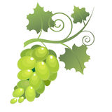 Vegetables2-05. Image of bunches of grapes with leaves on a white background. Vector Stock Photo