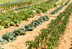 Free Vegetables Line In Orchard At La Foresta Franciscan Monastery, R Royalty Free Stock Images - 34859469