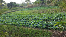 Vegetables location natural. Green cabbages graden Royalty Free Stock Image
