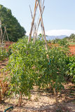 Vegetables in a mediterranian orchard Stock Image