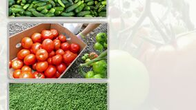 Vegetables in Multi Screen. Growing and production of different types of vegetables,edited video clips in one multi-screen stock video footage