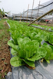 Vegetables in organic farm. Fresh green vegetables for salad in organic farm royalty free stock images