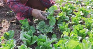 Vegetables organic and Hydroponic vegetables Cabbage growing in. A farmer`s field Stock Images