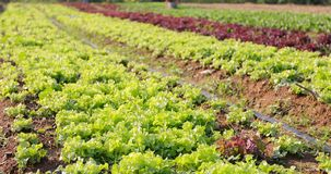 Vegetables organic and Hydroponic vegetables Cabbage growing in. A farmer`s field Stock Image