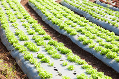 Vegetables planted in plots Stock Image