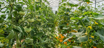Vegetables Plants Growing In A Greenhouse Royalty Free Stock Images