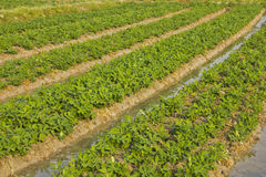 Peanut planting. Patterns by turning the water into the peanut plots stock image
