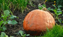 Vegetables pumpkins are for condiments Royalty Free Stock Photo