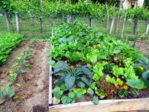 Vegetables in raised garden bed Royalty Free Stock Images