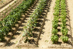 Vegetables in rows in orchard at La Foresta Franciscan monastery Stock Photography