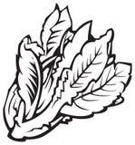 Vegetables series: lettuce vector illustration