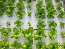 Vegetables of soilless. The soilless planting of lettuce royalty free stock photography
