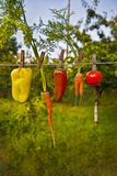 Vegetables in summer garden Stock Photos