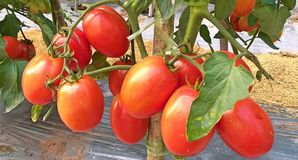 Tomatoes. agricultural product. royalty free stock image