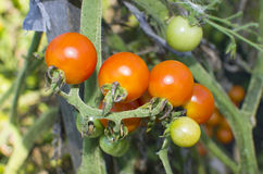 Vegetables tomatoes small red on  bush grows Royalty Free Stock Photos