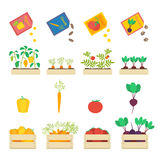 Vegetables vector set. Vector set of growing vegetables: seed grains, vegetable patches and wooden boxes with beetroot, carrot, tomato and yellow pepper Stock Images